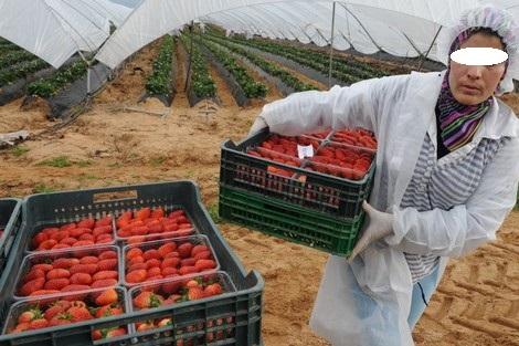 فوج جديد من العاملات الفلاحيات المغربيات في حقول الفراولة ينتقلن لإسبانيا