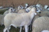 ONSSA: تكشف وضعية الحمى القلاعية وحالة القطيع بالمغرب