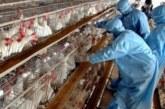 """بسبب """"الأزمة الخانقة"""" مربو الدجاج يدقون ناقوس الخطر"""