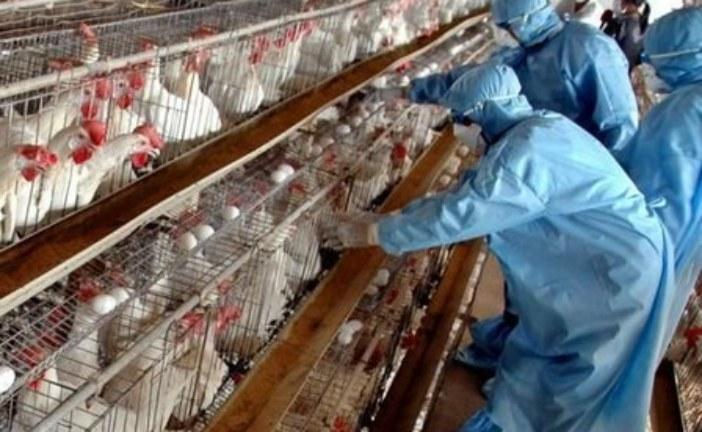فيروس جديد يهدد الدواجن بالمغرب