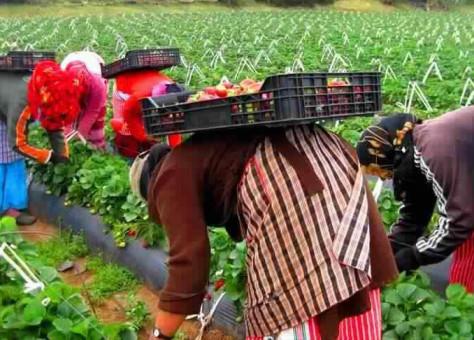 مئات العاملات المغربيات في حقول الفراولة بإسبانيا قررن البقاء بصفة نهائية