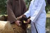 أزيد من أربعة ملايين ونصف مليون رأس من الأغنام والماعز تم ترقيمها استعداد للعيد